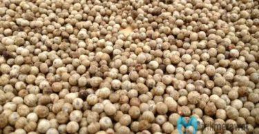 cara menanam sahang