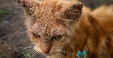 scabies pada kucing