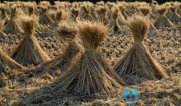 Limbah Pertanian saat Panen
