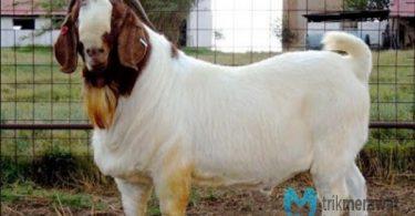 cara penggemukan kambing
