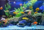 Budidaya Ikan Hias Air Tawar Mudah Beranak di Aquarium Trikmerawat.com