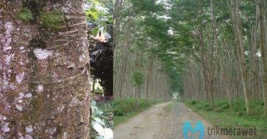 Budidaya Albasia Bibit Unggul Masa Panen Pendek Trikmerawat.com