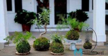 Budidaya Lumut untuk Tanaman Bonsai Bikin Cepat Kaya Raya Trikmerawat.com