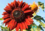 bunga matahari merah
