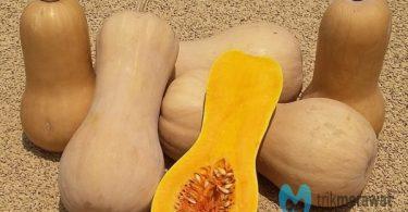 budidaya butternut squash