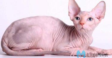 cara merawat kucing sphynx