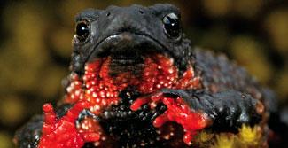 Estrada do planalto do Itatiaia pode ser fechada para reprodução de espécie