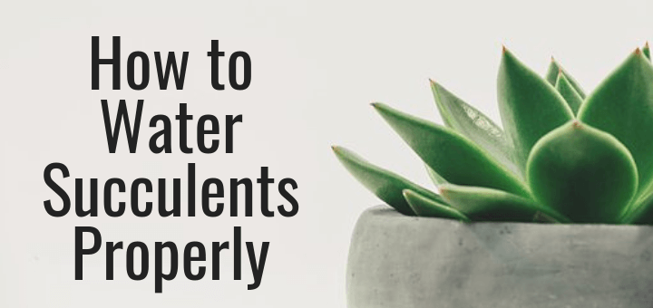 How To Water Succulents Properly Trillium Living