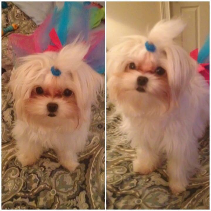 Maltese Mafia Lexie Third Birthday