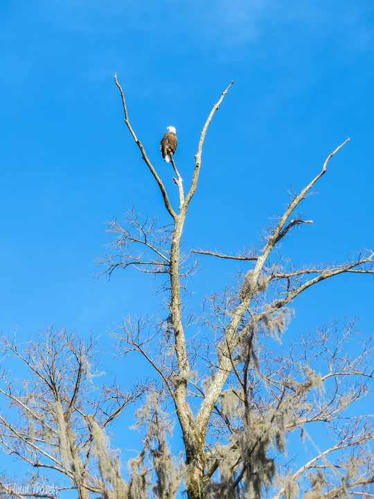 bald eagle in the top of a tree