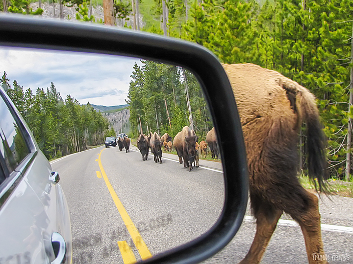 view of bison walking in the street in yellowstone from the car's sideview mirror
