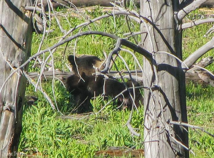 mama grizzly bear feeding her cub in yellowstone