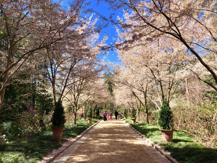 Duke University's Sarah P Duke Gardens with the spring with trees in full pink bloom