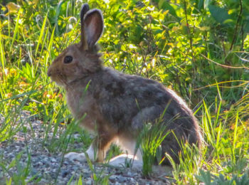 Bunny in Glacier National Park, Montana