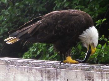 Bald Eagle catching and eating its prey in Ketchikan, Alaska