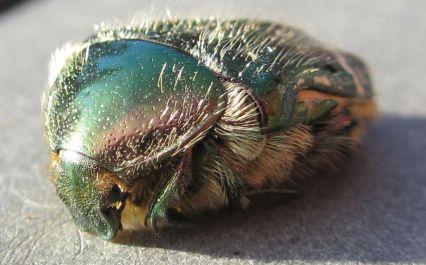 scarabe2