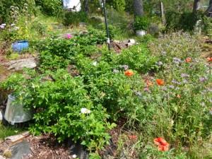 Fjorårets satsning på rosa rugosa i steinura begynner å ta form