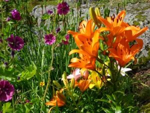 Tutti-frutti i vestbedet: Liljer, rosekattost og valurt