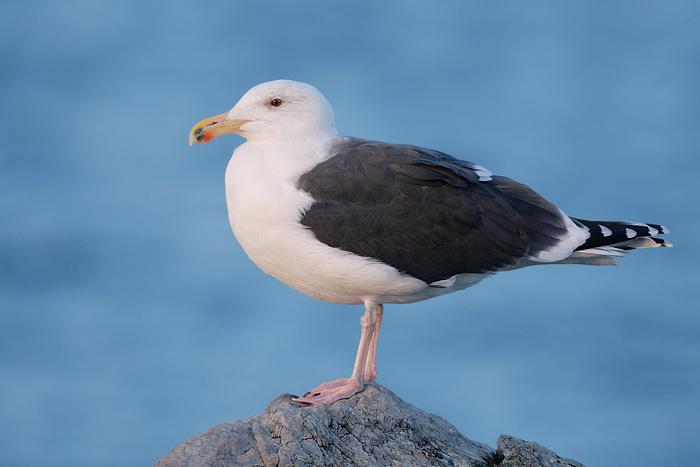 Great Blackbacked Gull 1