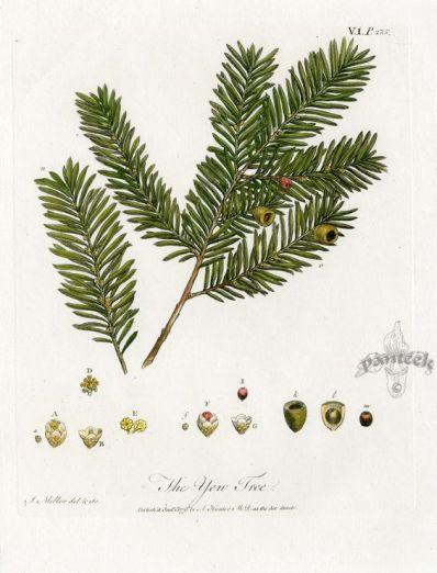 Yew botanical illustration