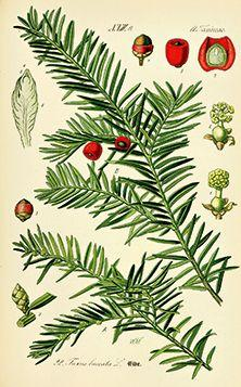 Yew botanical illustration