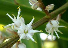 220px-Cordyline_australis_close up flower