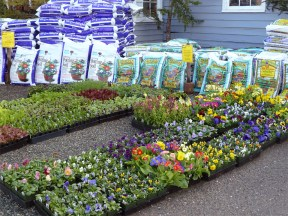 Early spring bedding plants and potting soil