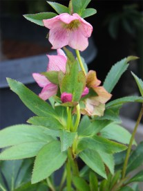 Hellebore with long-lasting pink blossoms