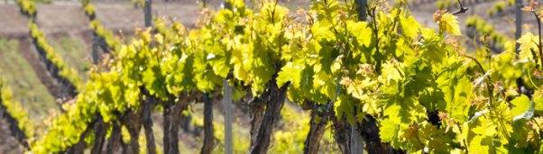 Uvas tintas y blancas autóctonas