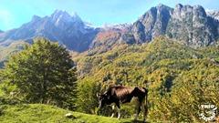 Albania_Valbona_Livadhet-e-Gjarpërit_Vaca