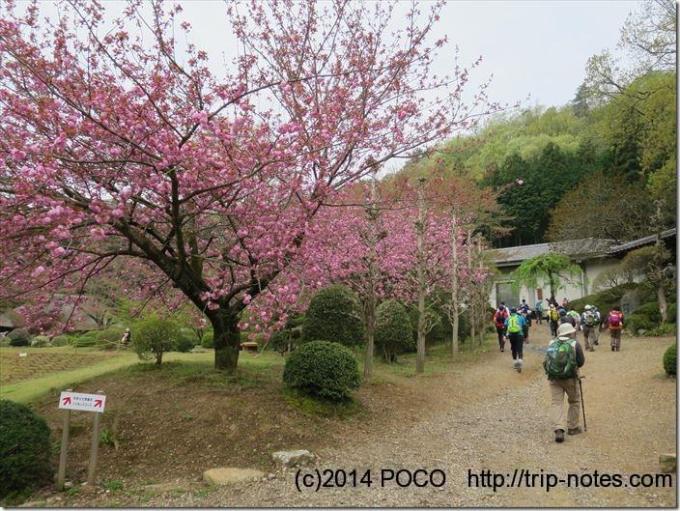 和紙の里の桜