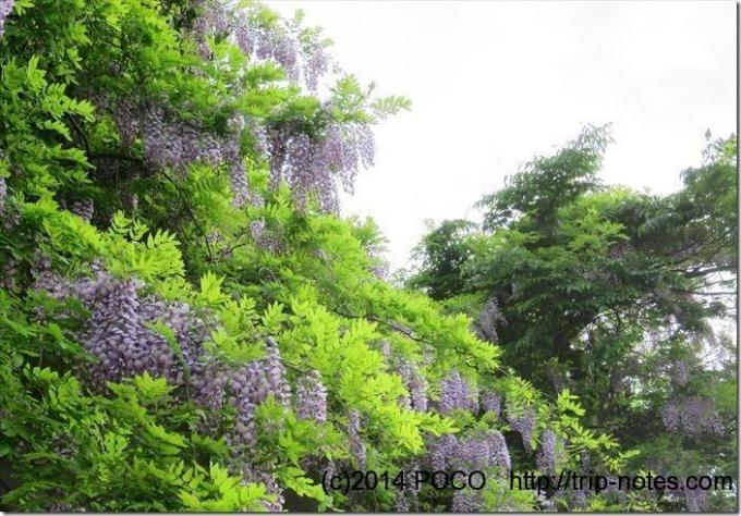沼津アルプスの藤の花