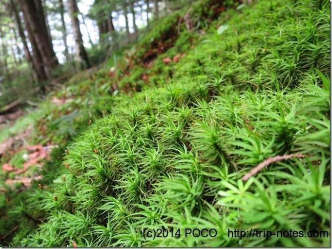 八ヶ岳の苔