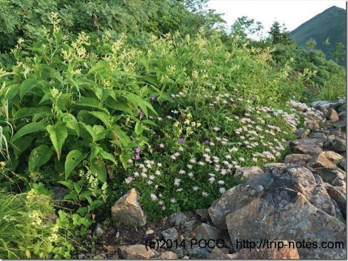 冷池山荘テン場周辺のお花畑