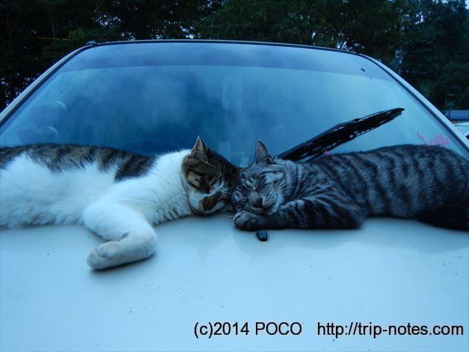 木崎湖キャンプ場の猫