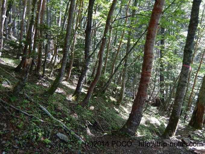 仙丈ヶ岳樹林帯