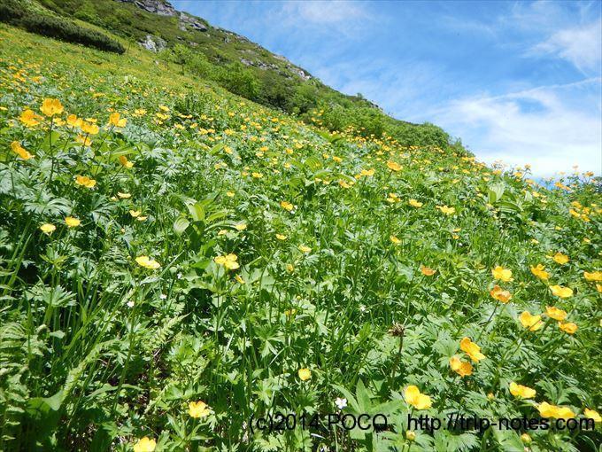 北岳 シナノキンバイのお花畑
