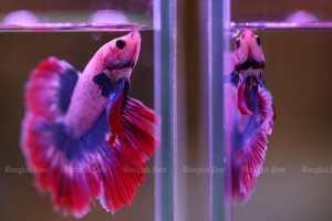 Красочные боевые рыбы выставлены на 9-й Накхон-Патомской рыбной ярмарке в Центральной площади Салайя 20 апреля.