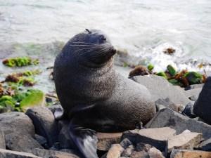 Sæler ved Ontago Peninsula