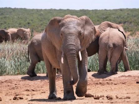 afrique du sud elephants