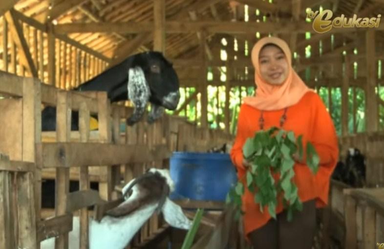 Bagaimana cara beternak kambing perah agar menghasilkan susu kambing yang berkualitas?