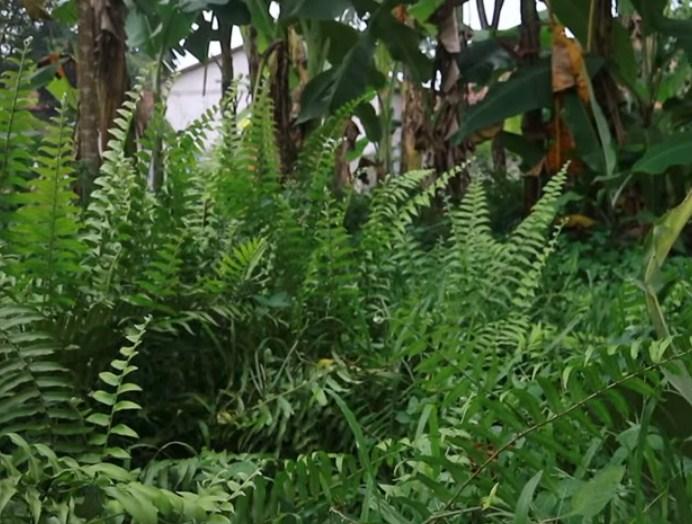 Bagaimana proses pertumbuhan pada tanaman paku yang berkembang biak menggunakan spora?