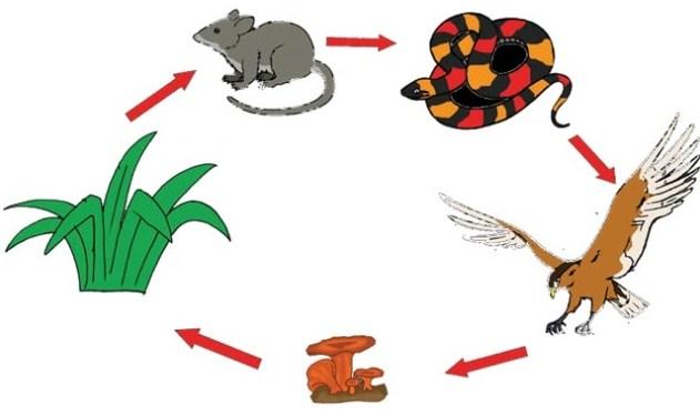 Gambar rantai makanan di sawah