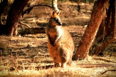 Wallaby, Koala Conservation Centre, Phillip Island, VIC, Australie