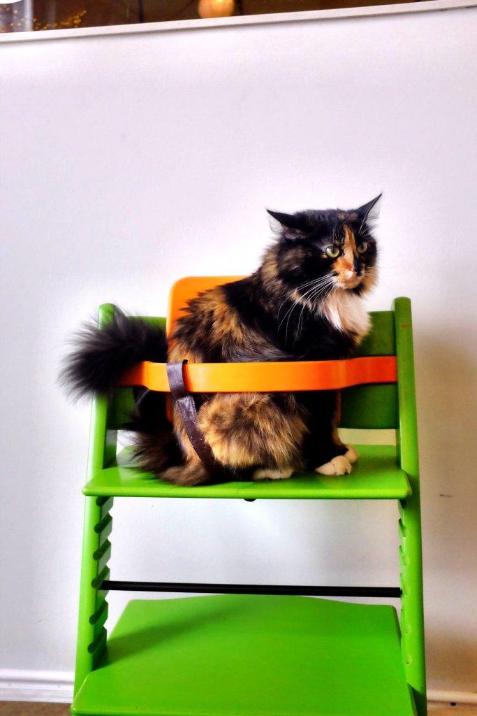 Cat in babyseat in a cat cafe in Tallinn