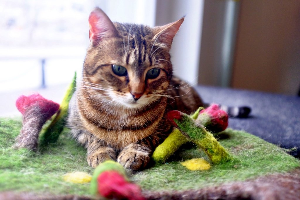 Our favorite cat from the Nurri Cat cafe in Tallinn poses for us
