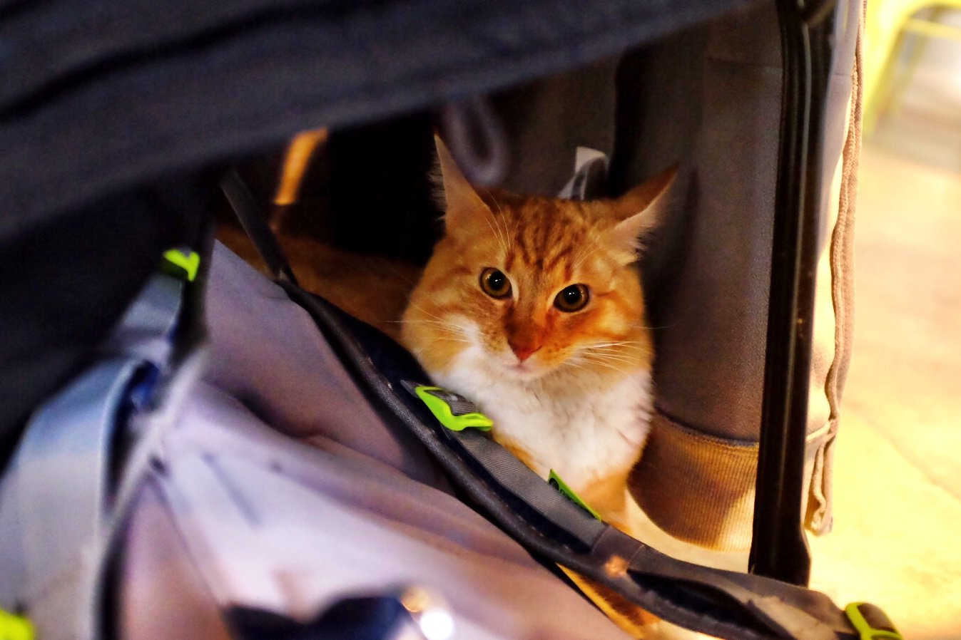 This cute ginger cat loved to hide under my coat which hanged on a chair. In the cat cafe in Tallinn