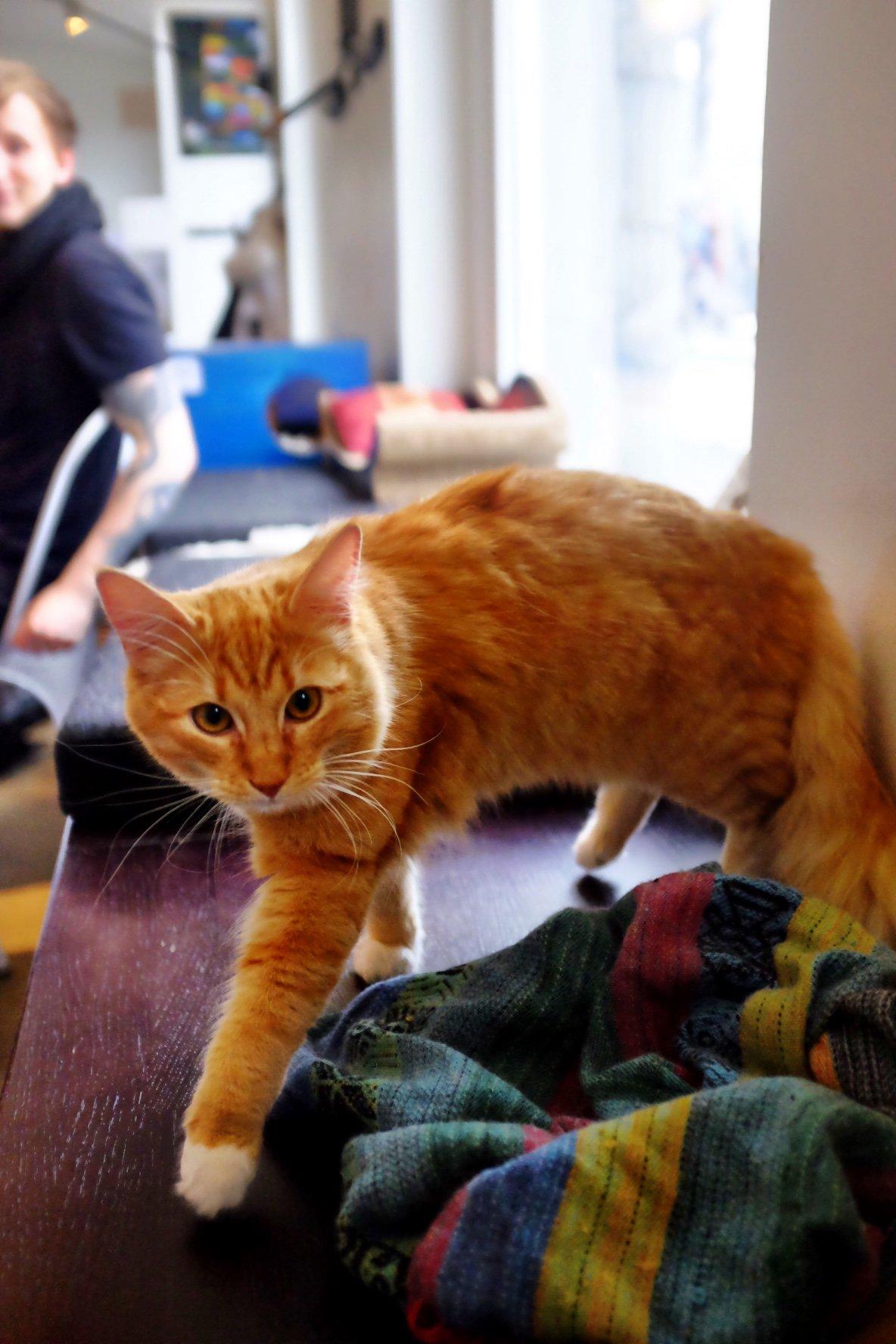 Ginger cat in the cat cafe in Tallinn walking towards us