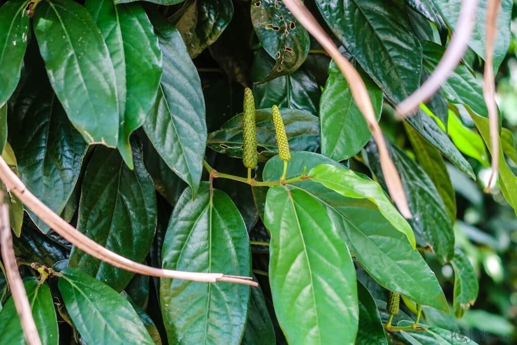 Things to do in Kampot cambodia Long Pepper