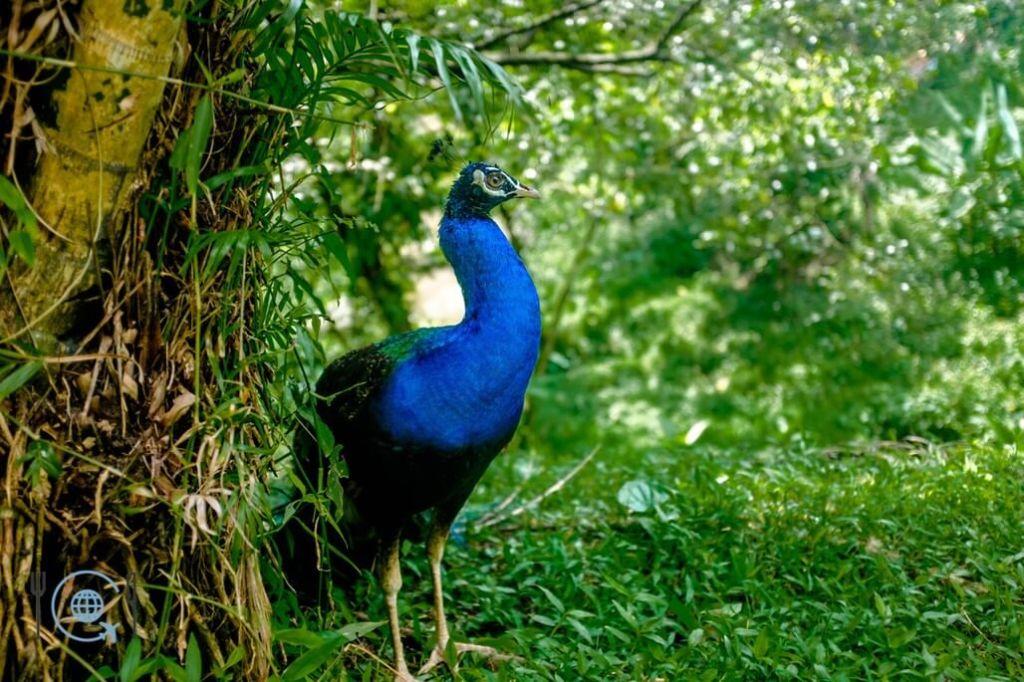 Kuala Lumpur Itinerary Peacock